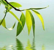 blade fra piletræ